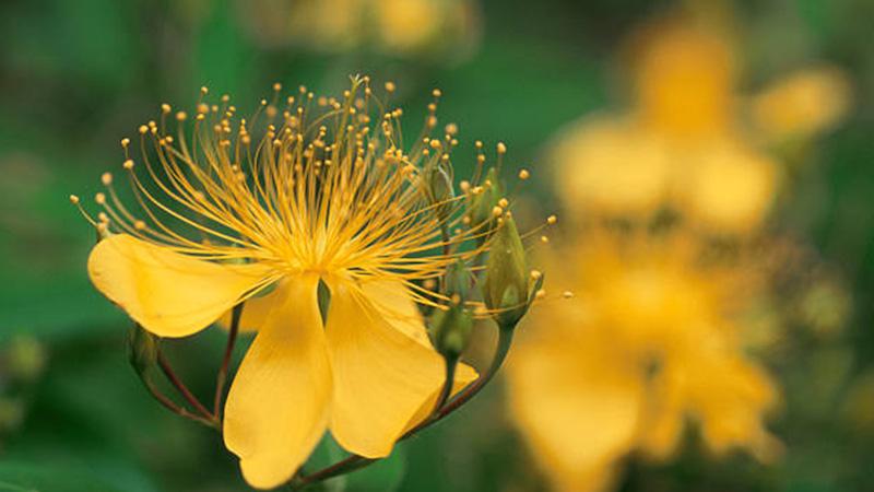 Healing plants, St John's wart