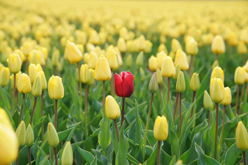 Surviving cancer. Field poppy.